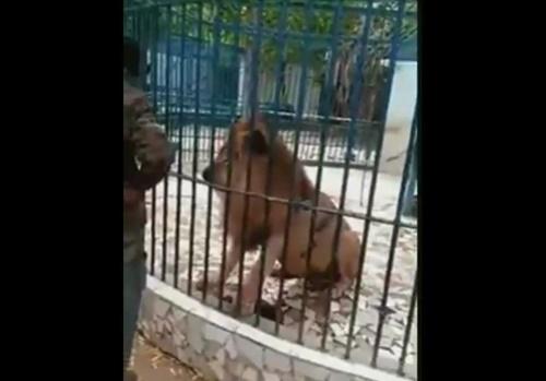 【閲覧注意】動物園のライオンが可愛いからオリに手を突っ込んでみた!⇒ 結果・・・