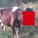 【閲覧注意】列車と激突した牛、自分の顔面がなくなっていることに気付かない・・・(動画)
