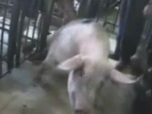 【閲覧注意】全世界から批判が殺到している養豚場の虐待映像がこちら・・・