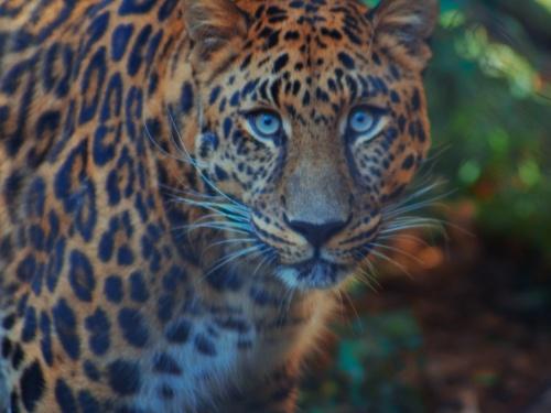 【閲覧注意】野生の豹 vs 素手の人間、勝ったのはまさかの・・・(動画あり)