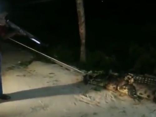 【閲覧注意】5人を食い殺した巨大人喰いワニ、捕獲・処刑される(動画)