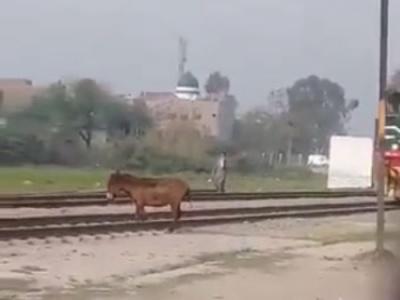 【閲覧注意】ロバ、電車の警笛を無視して線路に立ち入ってこうなる・・・(動画あり)