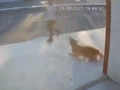 """【閲覧注意】大型犬に吠えられてビビった通行人、""""こうなる""""・・・(動画あり)"""