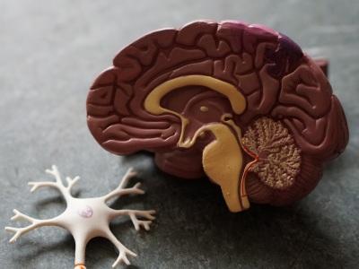 【超閲覧注意】人間の脳みそってこうなってるんだなって事がよく分かる画像がこちら・・・